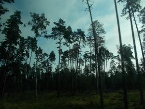 002 - Bělověžský prales - průjezd po klikaté cestě (zal. králi 14.-15.st. - polští Jagellonci - tzv. tchýnin jazyk, přes 96 proc. stromy - smrky, borovice, duby, olše, lípy aj., zubr)